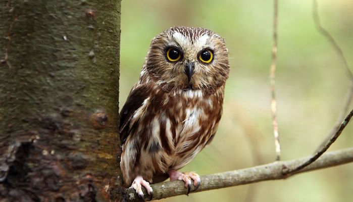 Northern saw whet owl perching on a tree branch