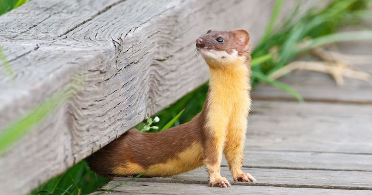 long tailed weasel performing a flexible stretch to look behind