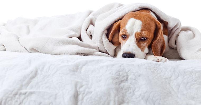 sick beagle dog sleeping under blankets