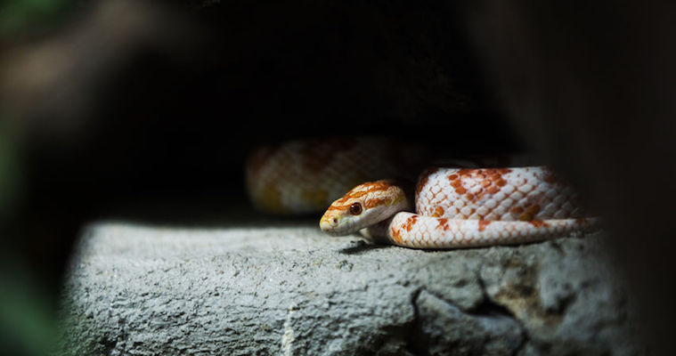 corn snake coiled on rock