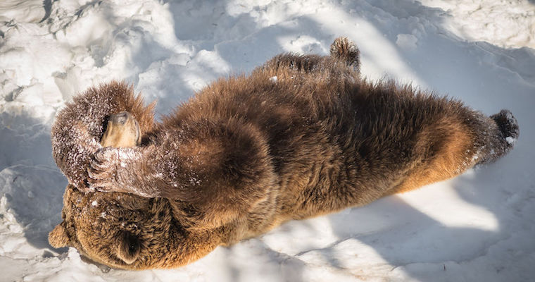 Bear laying in snow with paws over eyes