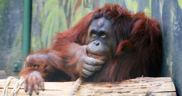 Orangutan-sitting-near-log-thinking